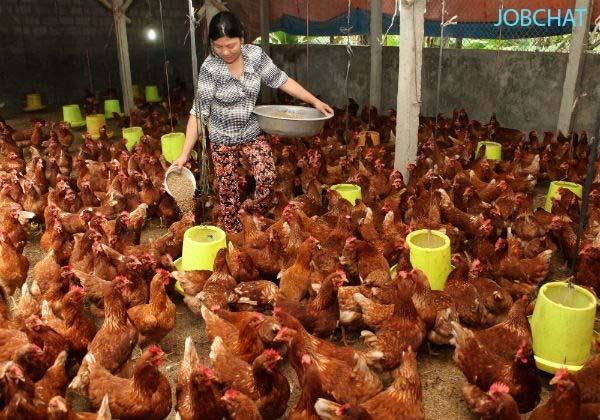 Chăn nuôi gà hay vịt đang được nhiều người lựa chọn