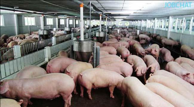 khởi nghiệp làm giàu từ mô hình chăn nuôi lợn ở vùng nông thôn